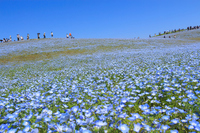 Nemophila Ibaraki Hitachinaka National Hitachi Seaside Park Stock photo [4914042] Ibaraki