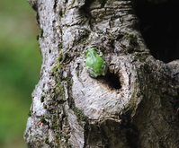 Japanese tree frog that came out from the tree of the sinus of Quercus Stock photo [5012529] Japanese