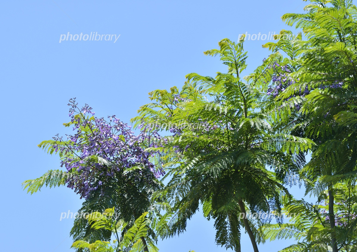 Jacaranda flowers and blue sky Photo