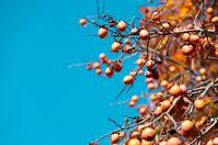 写真 Blue sky and oyster seeds(5112611)