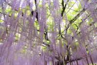 写真 Ashikaga is a flower park Oto(5112645)