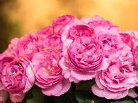 写真 Rose of pink(5114009)