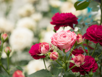 写真 Rose of pink(5114057)