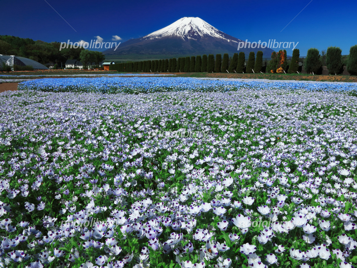 ネモフィラ咲く富士山 写真素材 5193977 フォトライブラリー