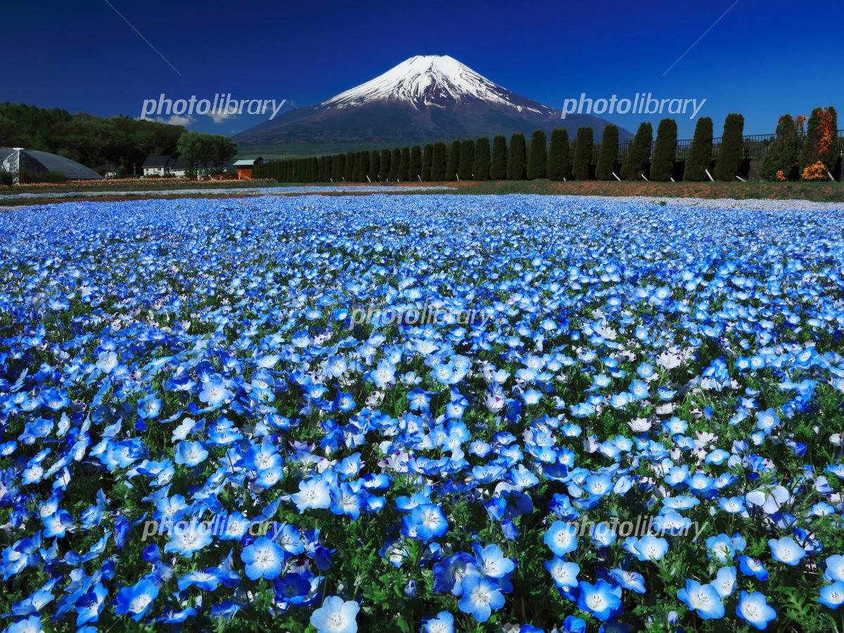 ネモフィラ咲く富士山 写真素材 5193978 フォトライブラリー