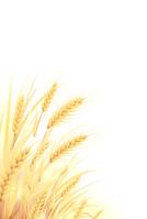 イラスト Wheat field(5200612)