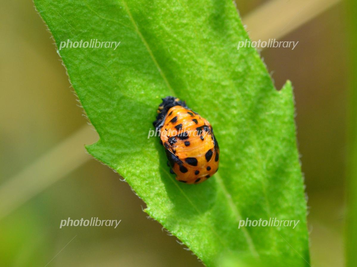 てんとう 虫 さなぎ 5分でわかるてんとう虫の生態!種類ごとの特徴や、幸運を呼ぶジンクス...