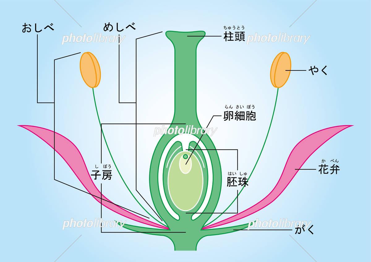 被子植物 図 ふりがな イラスト素材 [ 5436496 ] - フォトライブラリー ...