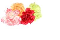 写真 Carnation(5435501)