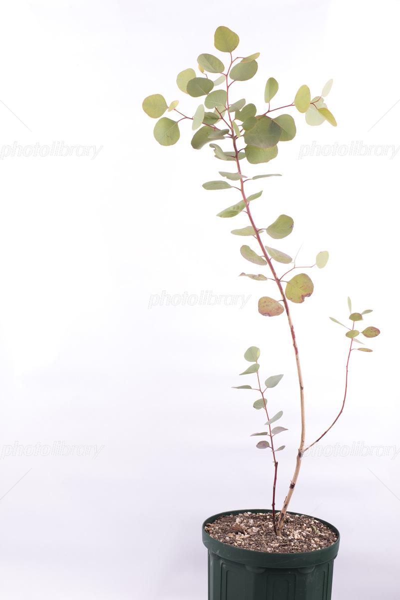 鉢植え ユーカリ