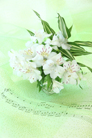 写真 Synthesis of white Alstroemeria and score(5470296)