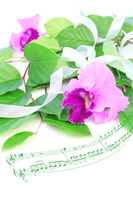 写真 Synthesis of bouquet and score of Cattleya and lemon leaf(5470322)