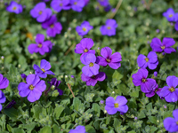 Aubrietia  Photo