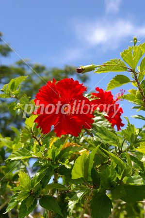 Guam Hibiscus Photo