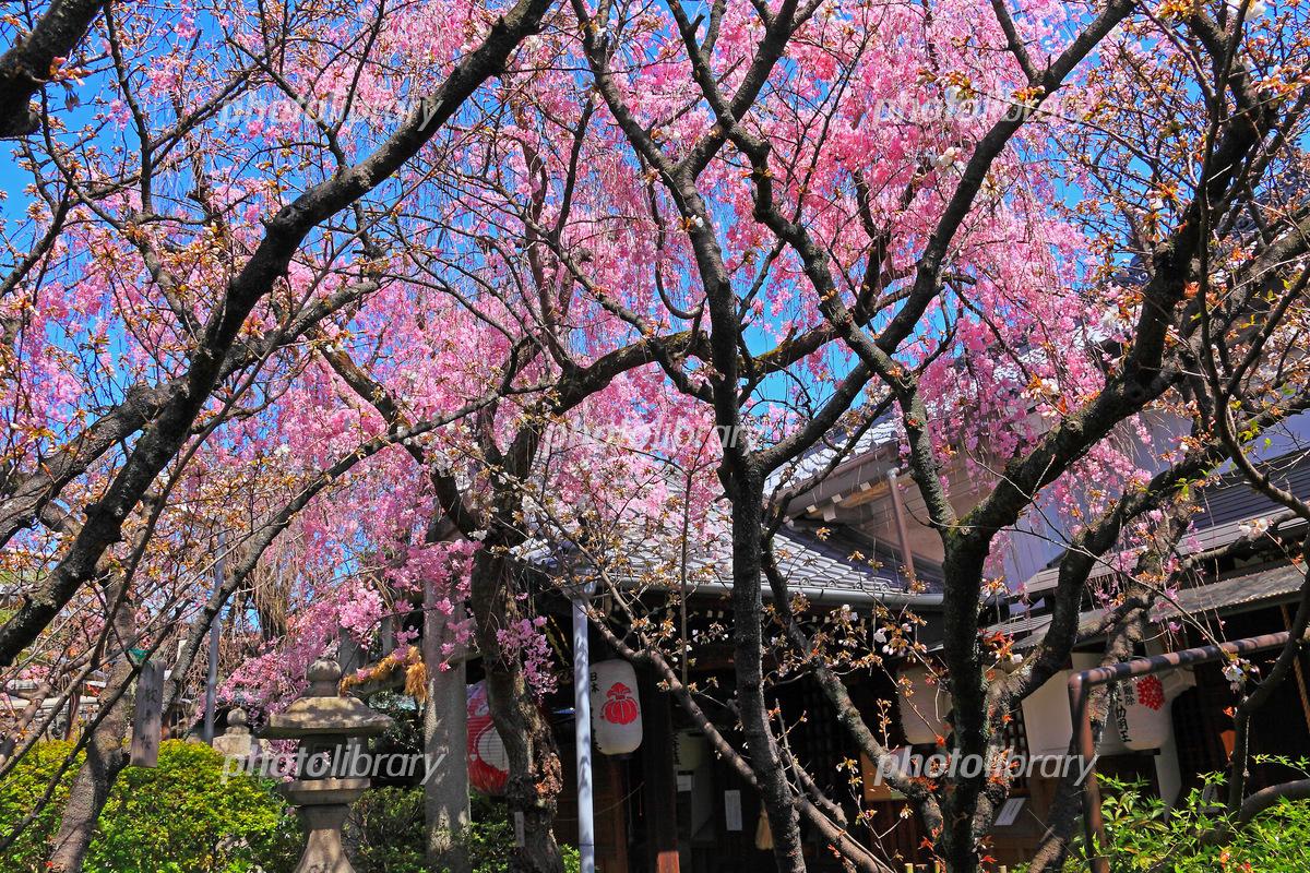 境内に覆いかぶさるようなしだれ桜 写真素材 [ 5571609 ] - フォト ...