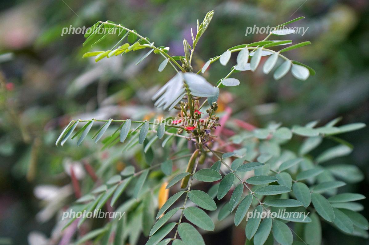 染料植物のナンバンコマツナギ ...