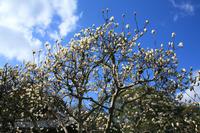 Yulan magnolia Stock photo [222203] Plant