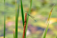Blue Mont damselflies Stock photo [222314] Dragonfly