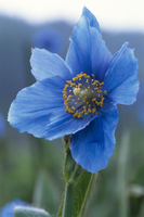 Himalayan blue poppy Stock photo [224961] Himalayas