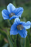 Himalayan blue poppy Stock photo [224983] Himalayas