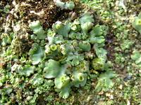 Marchantia polymorpha Stock photo [227268] MOSS.