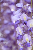 Plant wisteria Murasakifuji up Stock photo [260024] Rattan