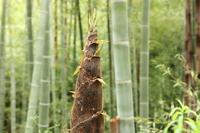 Bamboo shoots Stock photo [260092] Bamboo
