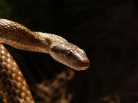 Japanese ratsnake Stock photo [260695] Reptiles