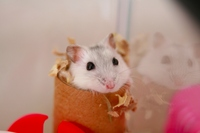 Unexpectedly hamster Stock photo [262088] Hamster