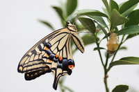 Birth of swallowtail butterfly Stock photo [262399] Butterfly
