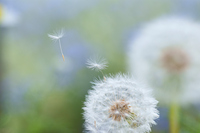 Puffball and species Stock photo [263823] Dandelion
