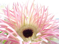 Gerbera Stock photo [264909] Gerbera