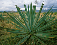 Mexico agave Stock photo [265310] Mexico