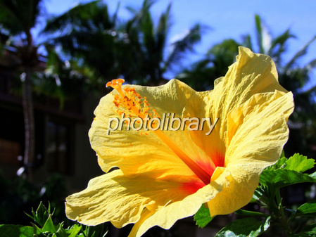 Yellow hibiscus Photo