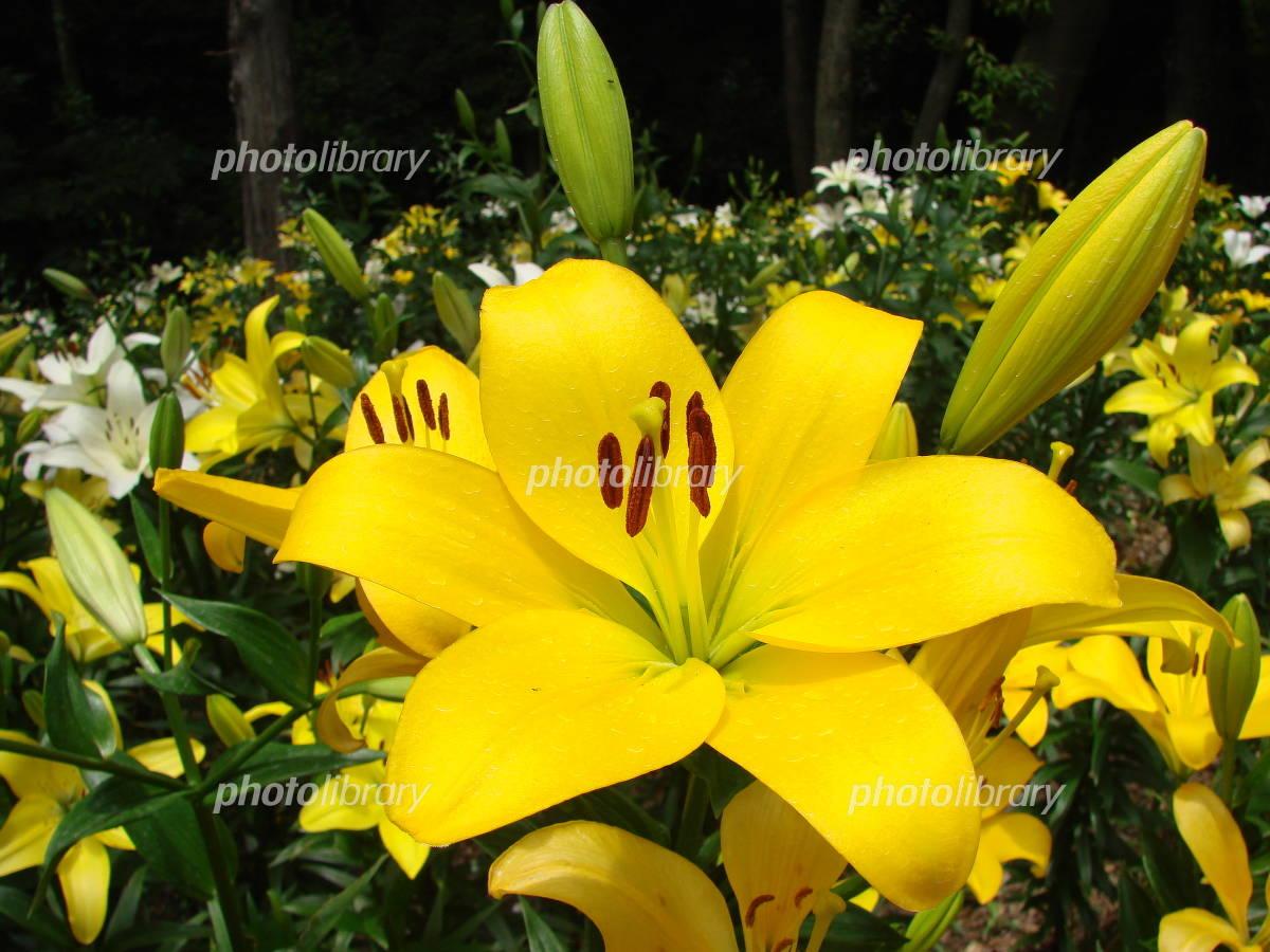 黄色いユリ 写真素材 [ 429666 ] - フォトライブラリー photolibrary