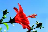 Hibiscus Stock photo [423354] Hibiscus