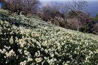 Daffodil field Echizen coast Stock photo [423999] Narcissus