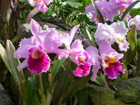 Cattleya Stock photo [426294] Plant