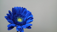 Blue gerbera Stock photo [427260] Blue