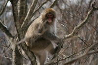 Wild monkeys Stock photo [431646] Japanese