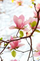 Magnolia Stock photo [477336] Spring
