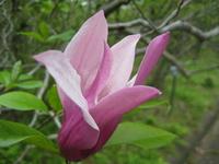 Magnolia Stock photo [482767] Magnolia