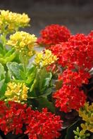 Gorgeous kalanchoe flowers Stock photo [483177] Kalanchoe