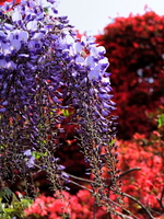 Wisteria purple and mountain azalea Stock photo [483414] Rattan