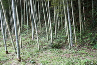 Bamboo forest Stock photo [486140] Bamboo