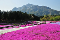 Phlox and Mount Bukō Stock photo [486672] Cherry