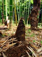 Bamboo shoot Stock photo [488280] Bamboo