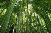 Bamboo forest Stock photo [488823] Bamboo