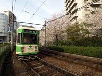 路面電車と桜