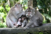 Ubud Monkey Forest Monkey family Stock photo [524678] Beam